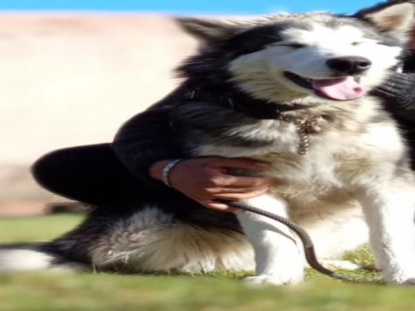 chien-husky